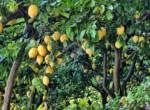 lemon-852244_1920 copia