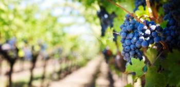 purple-grapes-553463_1920 copia